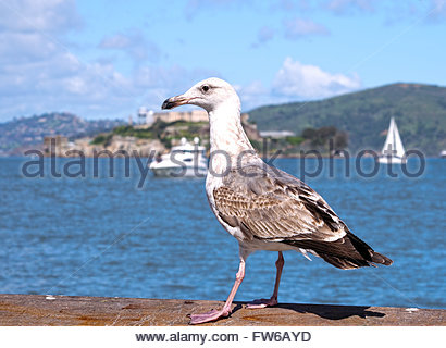Selective focus on seagull posing in front of Alcatraz Island in San Francisco, CA - Stock Photo