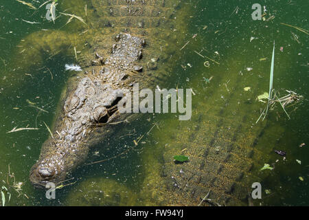 A crocodile baths in water to cool down. - Stock Photo