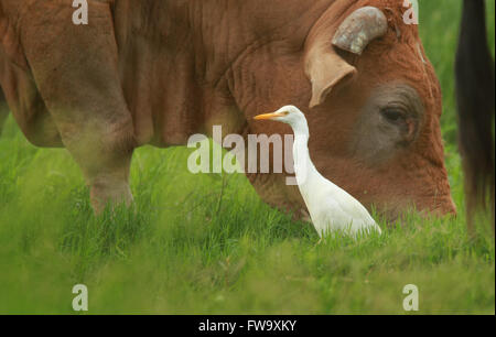 A Cattle Egret - Ardea ibis - standing next to grazing cattle in rural Australia  with lush green grass.   Photo - Stock Photo