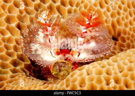 Christmas Tree Tube Worm, Spirobranchus giganteus, in coral. - Stock Photo