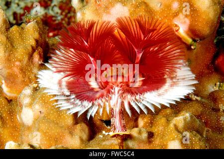 Christmas Tree Tube Worm, Spirobranchus giganteus, in coral. Uepi, - Stock Photo
