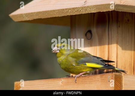European greenfinch (Chloris chloris / Carduelis chloris) eating seed at garden bird feeder - Stock Photo