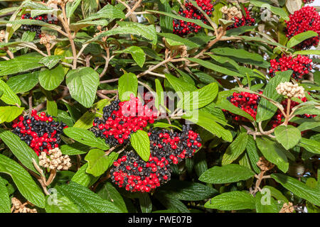 Wayfaring Tree, Hoarwithy Twistwood Meal Tree Viburnum lantana autumn berries - Stock Photo