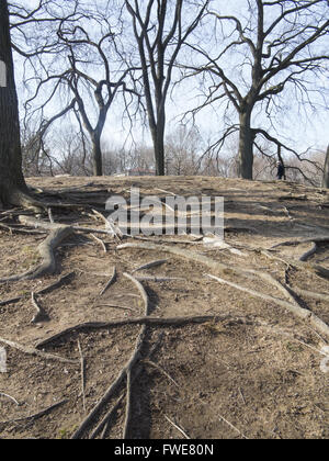 Exposed tree roots due to erosion on a hill in Prospect Park in Brooklyn, New York. - Stock Photo