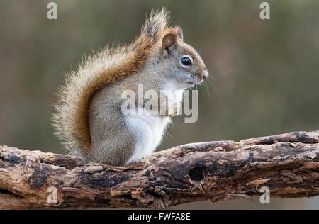 Eastern Red Squirrel making sounds (Tamiasciurus or Sciurus hudsonicus) E North America - Stock Photo