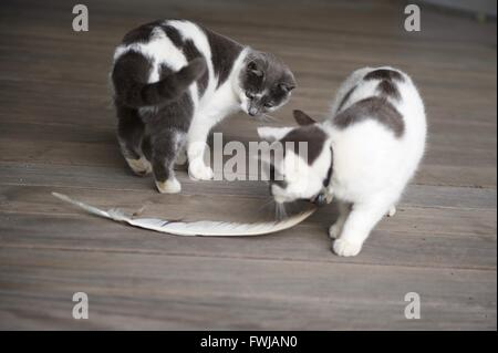 High Angle View Cats Standing By Feather On Floor - Stock Photo