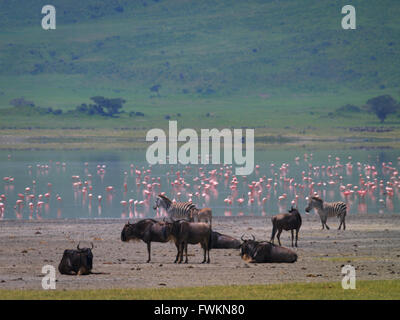Lesser Flamingos (Phoenicopterus minor), Zebra (Equus quagga) and Wildebeest (Connochaetes taurinus) in Ngorongoro - Stock Photo