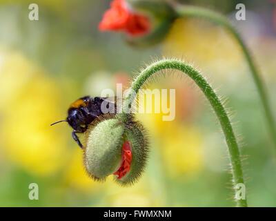 Macro of bumblebee (Bombus) on hairy bud poppy - Stock Photo