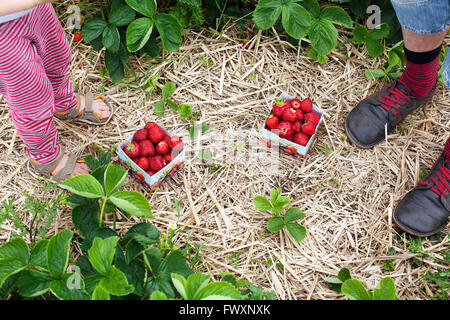 Sweden, Skane, Mossby, Strawberries on hay - Stock Photo