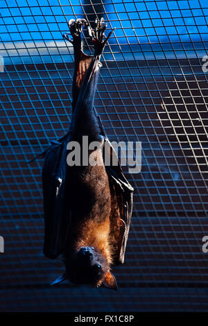 Lyle's flying fox (Pteropus lylei) at Budapest Zoo in Budapest, Hungary. - Stock Photo