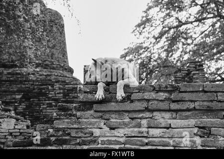 Stray dog in a temple in Ayutthaya - Thailand - Stock Photo