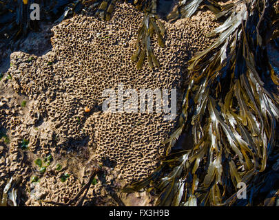 Honeycomb Worm Sabellaria alveolata encrusting flat rocks on the seashore of the Glamorgan Coast South Wales - Stock Photo