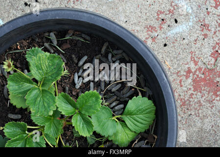 Strawberry plant in pot with guinea pig poo as mulch. - Stock Photo