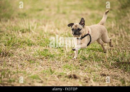 Fawn-colored Pug, Bella Boo, running in a field in Marymoor Park in Redmond, Washington, USA - Stock Photo