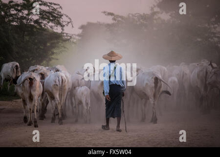 Cattle herders herding their cattle through the dusty dirt roads in Bagan at dusk - Stock Photo