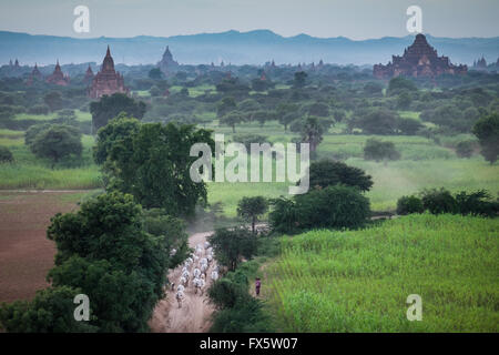 A cattle herder moving her cattle through the narrow dirt tracks in Bagan at dusk. - Stock Photo