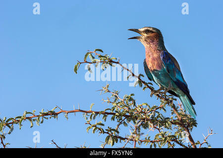 Lilac-breasted roller (Coracias caudatus), Kgalagadi Transfrontier Park, Northern Cape, South Africa - Stock Photo