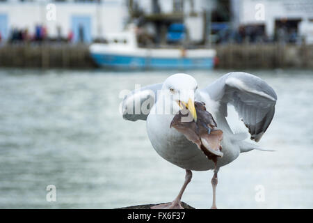 Seagull with a bit of fish in its beak - Stock Photo