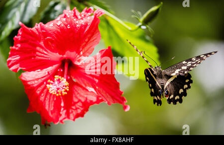 Citrus Swallowtail butterfly Papilio demodocus flying close to a red hibiscus flower - Zanzibar Butterfly Centre - Stock Photo