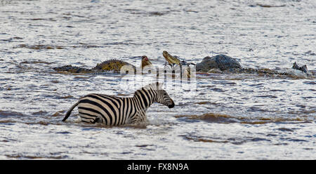 Crocodile attacking Zebras in the water while crossing the Mara River during the great annual migration in Masai - Stock Photo