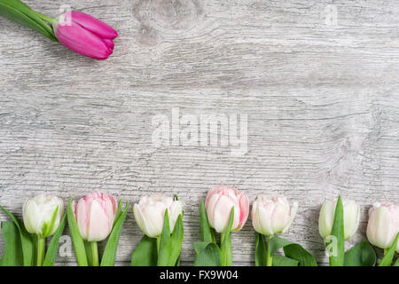 White Tulips in a Row and a pink One - Stock Photo
