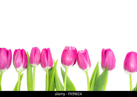 Pink Tulips in a Row - white Background - Stock Photo