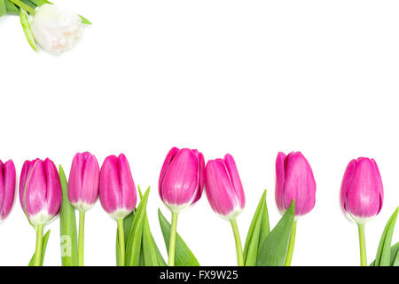 Pink Tulips in a Row and a white One - Stock Photo