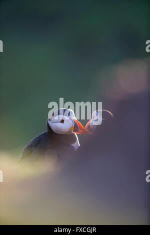 Atlantic puffin Fratercula arctica, adults, billing backlit, The Wick, Skomer, Wales, UK in June. - Stock Photo