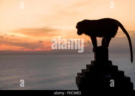 Monkey at sunset in Uluwatu temple - Bali, Indonesia - Stock Photo