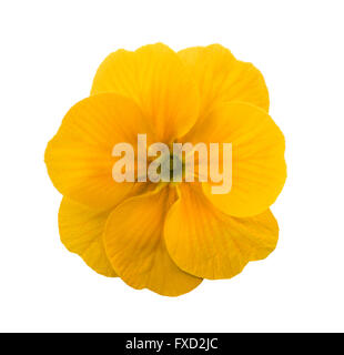 yellow primrose  isolated on white background - Stock Photo