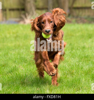 Red Setter / Irish Setter pet dog in Natural Setting Running and Playing in a domestic garden with a Tennis Ball, - Stock Photo