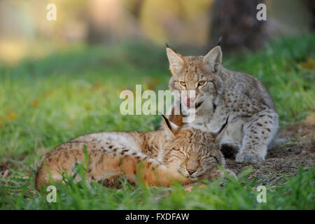 Eurasian Lynx / Eurasischer Luchs ( Lynx lynx ), young cute cubs, teasing each other, funny situation, licking its - Stock Photo