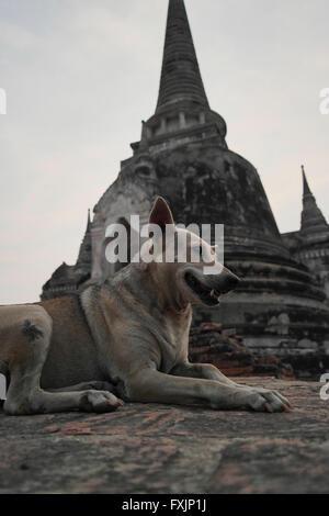 Stray dog in Ayutthaya -Thailand - Stock Photo
