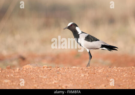 Blacksmith Plover (Vanellus armatus) in Kruger National Park, South Africa - Stock Photo