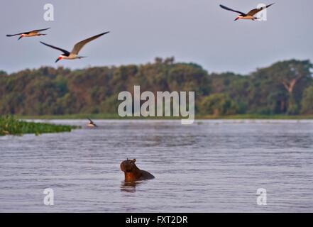 Black Skimmers (Rynchops niger) flying around a Capybara (Hydrochoerus hydrochaeris) swimming across a river, Pantanal, - Stock Photo