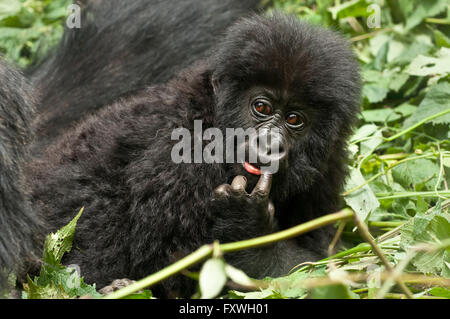playful baby mountain gorilla with its finger in its mouth. one of the Kwitonda group at the Volcanoes National - Stock Photo