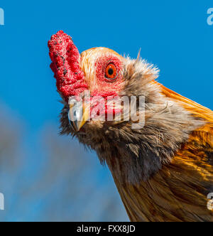 One of roosters chased during Mardi Gras Chicken Run during Lake Charles family friendly Mardi Gras. - Stock Photo