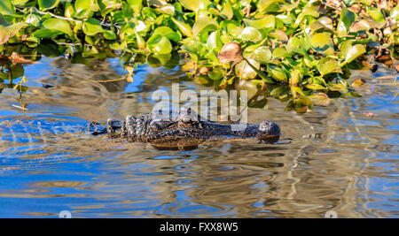 Young alligator (Alligator mississippiensis) swims among water hyacinths in marsh in Mandalay National Wildlife - Stock Photo