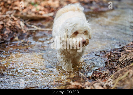 White havanese dog drinking water from a stream in a forest - Stock Photo