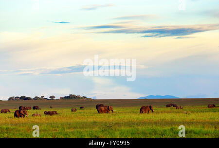 A herd of elephants and their calves grazing in the Serengeti savanna. - Stock Photo