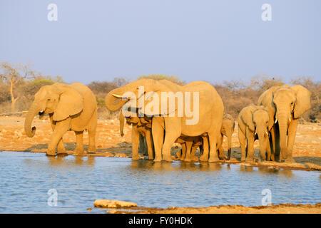 African elephants (Loxodonta africana) drinking at Klein Namutoni Waterhole at sunset in Etosha National Park, Namibia - Stock Photo