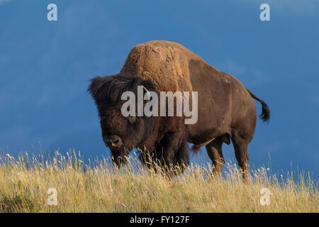 American bison / American buffalo (Bison bison) bull in summer, Waterton Lakes National Park, Alberta, Canada - Stock Photo