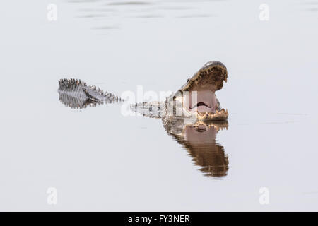 An American alligator reflected in calm waters as it opens it's mouth to cool off in the Donnelley Wildlife Management - Stock Photo