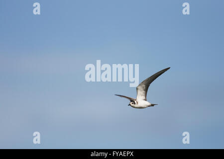 Black tern Chlidonias niger, winter adult, in flight at Grimley Gravel Pits, Worcestershire, UK in September. - Stock Photo