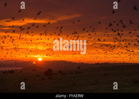 Common starling Sturnus vulgaris, flock, arriving at roost site, Rough Tor, Cornwall, UK In January. - Stock Photo