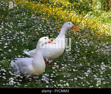 white ducks in spring season - Stock Photo