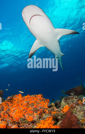 Caribbean reef shark, Carcharhinus perezi, swimming over coral reef, Bahamas - Stock Photo