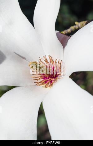 Macro detail of a Magnolia flower showing pistil and stamen - Stock Photo