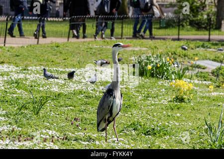 Grey heron posing in St. James's Park, London England United Kingdom UK - Stock Photo