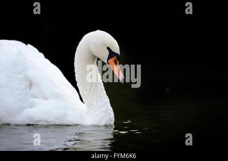 Swan swimming in the lake - Stock Photo